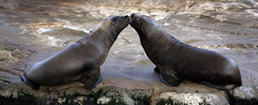 beso focas258x105