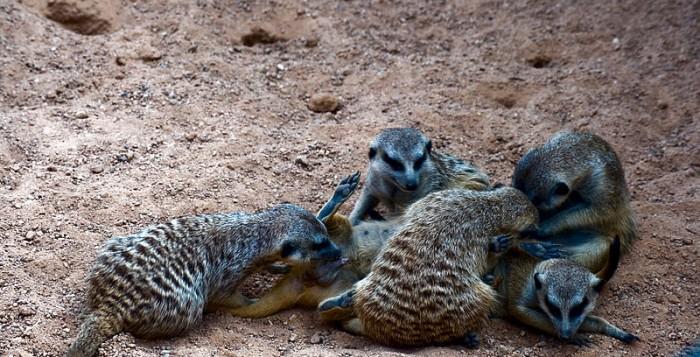 Une famille de suricates profitant d'un moment e famille