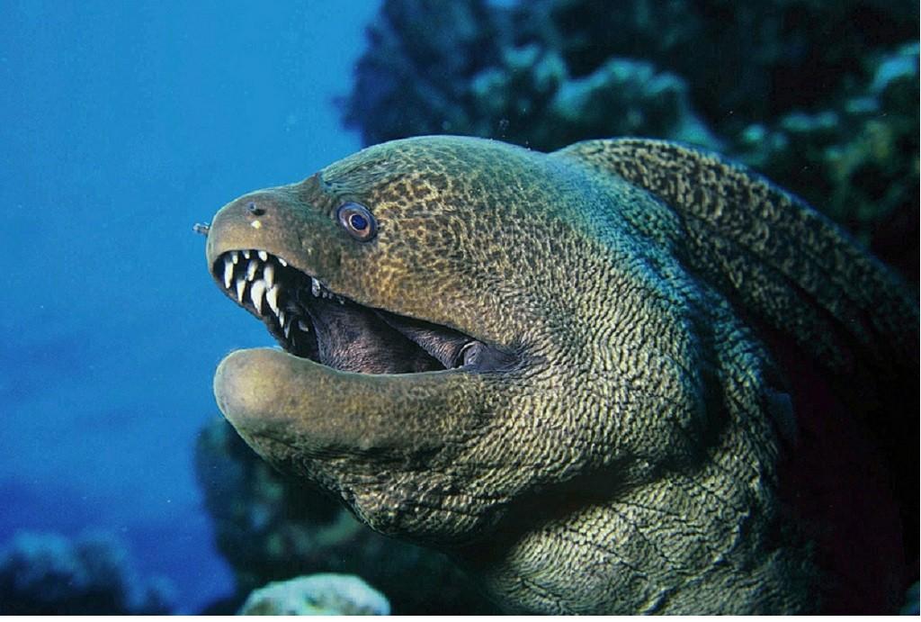 une murène a élu domicile dans les coraux dans la reserva Marina del cabo de San Antonio
